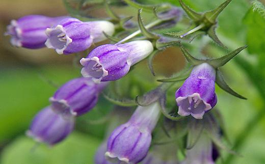 allantoin-flower.jpg
